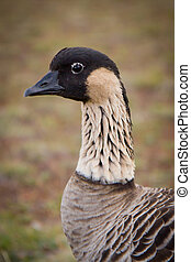 Hawaiian Goose - Nene - Closeup - A closeup of an Endangered...