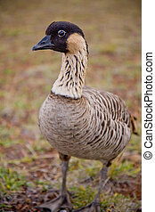 Hawaiian Goose - Nene - Closeup - full body - A closeup of...