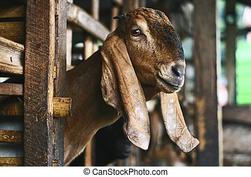 Goat head in the cage