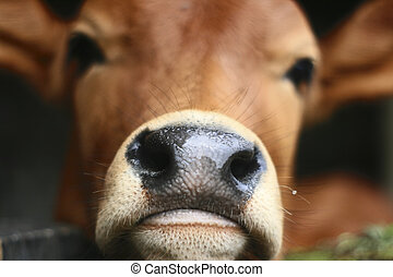 Mouth cow