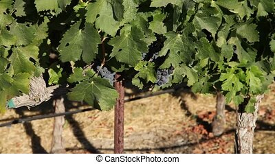 Ripe red grape - Close up of red grapes on the vine. Napa...