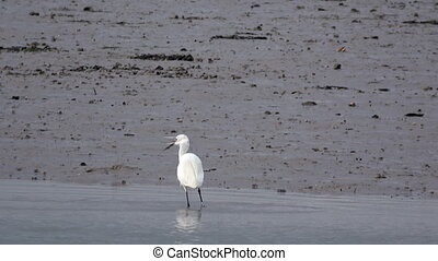 An egret forages on the shore