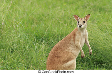 Agile Wallaby with copy space