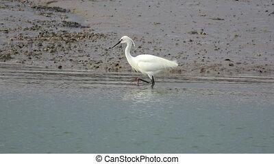 An egret foarages