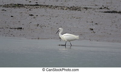An egret forages