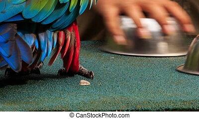Closeup Parrot Finds Ball under Bowl at Show in KL Bird Park...