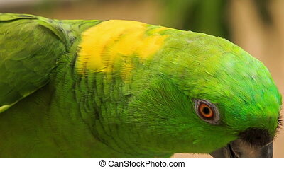 Closeup Green Parrot Turns Head - closeup nice green and...