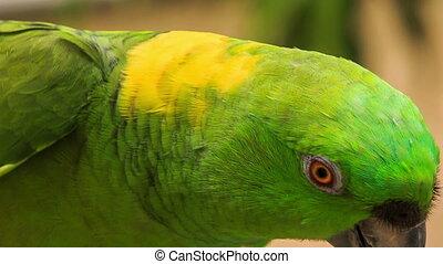 Closeup Green Parrot Turns Head