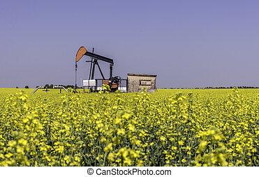 Oil well pumpjack in a field of canola - Oil well pumpjack...