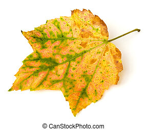 Autumn Leaf - Autumn leaf from Red Maple acer rubrum...