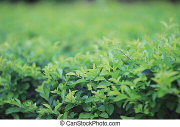 green plant, green clover background - the green plant,...