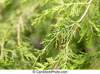 branch conifer