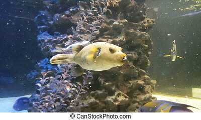 Tetraodon is a genus in the pufferfish family stock footage...