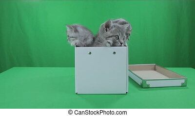 Beautiful little kittens Scottish Fold in box on Green...