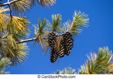 Long Pine Cone on Tree Branch - Long pine cone on tree...