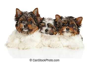 Biewer Yorkshire terrier puppies - Biewer Yorkshire Terrier...