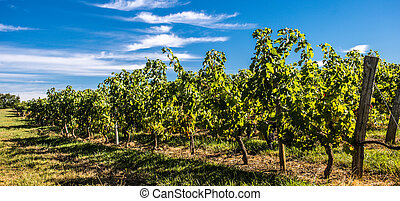 Bordeaux Vineyard, Sunrise-France, Aquitaine, Gironde -...