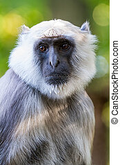 the Hanuman langur - in a large park there is a Hanuman...