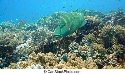 Napoleon Fish on Coral Reef, underwater scene. Red sea