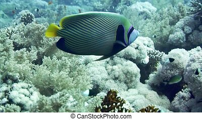 Emperor Angelfish Pomacanthus imperator on Coral Reef -...
