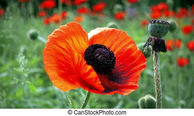 Red poppy flowers swaying by the wind in the summer garden
