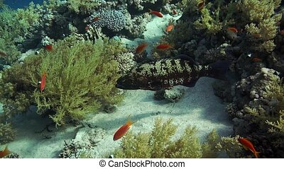 Grouper fish swimming in the water. Red sea