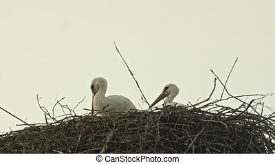 Family of storks in a large nest. Blue sky.