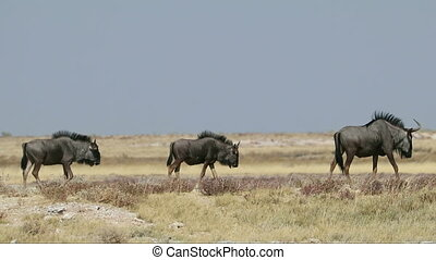 Blue wildebeest in shimmering heat wave - Blue wildebeest...