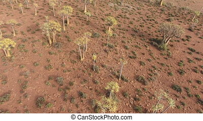 Aerial view of quiver trees - Low flying aerial view of rare...