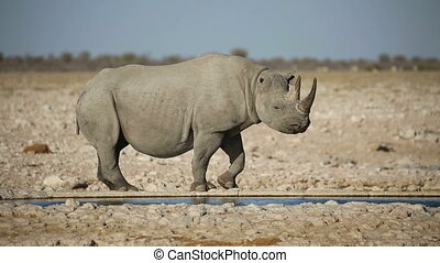 Black rhinoceros drinking water - A black (hooked-lipped)...