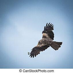 black kite in flight 3