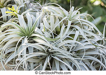 grey bromeliads