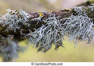 lichen on branch - grey lichen on branch