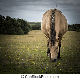 New Forest pony grazing 2