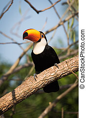 Toco toucan perched on branch in sunshine