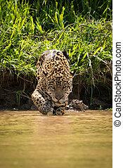 Jaguar walking through muddy shallows towards camera
