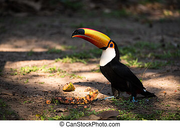 Toco toucan eating papaya with raised beak