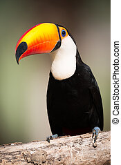 Toco toucan sitting on branch in sunshine