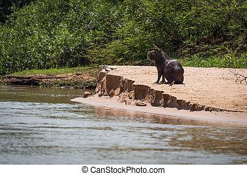 Capybara on sandbank with bird on head