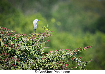 Snowy egret on branch with blurred background