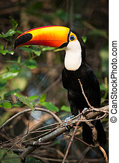 Toco toucan perched in profile on branch