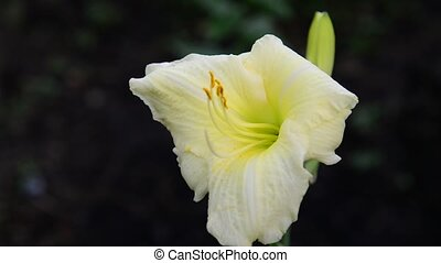Light yellow daylily flower in the flowerbed - Yellow...
