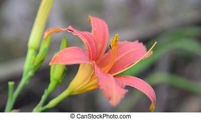 pink flower daylily in flowerbed - pink flower daylily in...