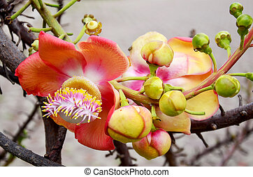 Sala flora or Shorea robusta flower on Cannonball Tree and...
