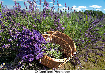 picking Lavender - Picking Lavender in the fields and...