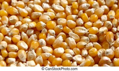 Sweetcorn seeds. Rotating. Close up - Maize, or corn, grains...