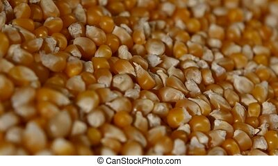 Maize grains. Corn kernel grains. Rotating. Close up -...