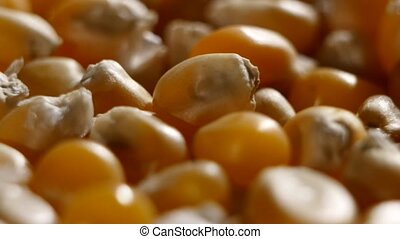 Grains of corn detail. Rotating. Close up - Corn crop grains...
