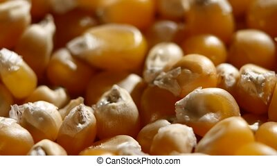 Corn grains. Rotating. Close up - Corn crop grains on...
