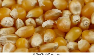 Maize grains. Corn kernel grains. Rotating. Close up - Maize...